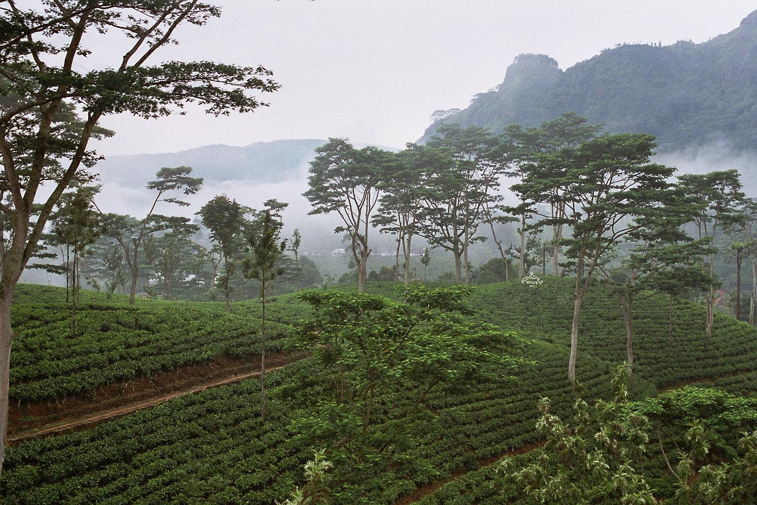 Get the Best Quality Ceylon tea in Asia, Ceylon Black & Green Tea